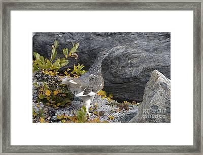 Rock Ptarmigan Framed Print by Mark Newman