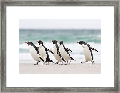 Rockhopper Penguin (eudyptes Chrysocome Framed Print