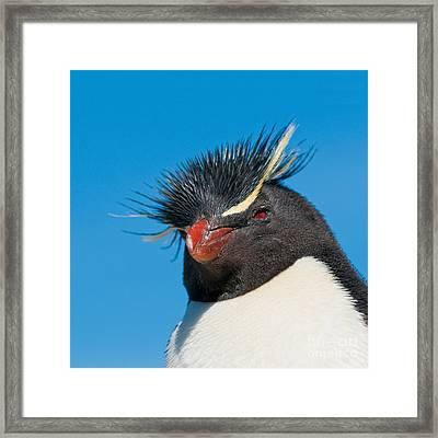 Rockhopper Penguin Framed Print