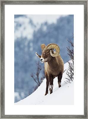 Rocky Mountain Bighorn Sheep Framed Print by Ken Archer
