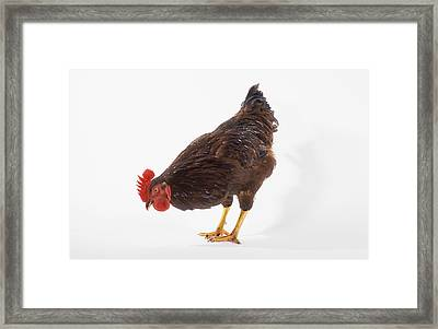 Rooster Framed Print by Thomas Kitchin & Victoria Hurst