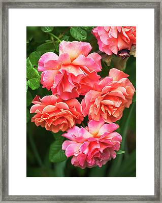 Rosa 'easy Does It' Flowers Framed Print by Maria Mosolova