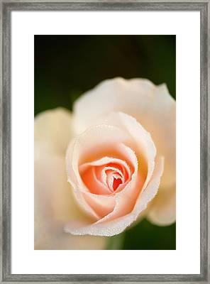 Rosa 'johann Strauss' Flower Framed Print by Maria Mosolova