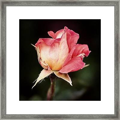 Rosa Framed Print