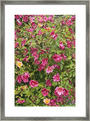 Rosa X Odorata 'mutabilis' Framed Print by Science Photo Library