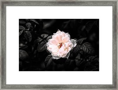 Rose 1 Framed Print