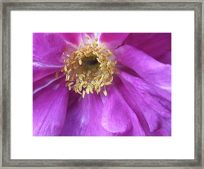 Framed Print featuring the photograph Rose Pink by Gene Cyr