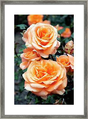 Rose (remy Martin) Framed Print by Brian Gadsby/science Photo Library