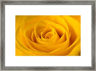 Rose Framed Print by Scott Carruthers