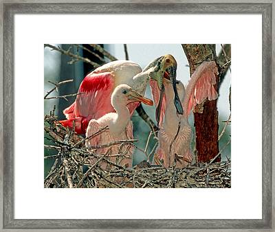 Roseate Spoonbill Feeding Young At Nest Framed Print
