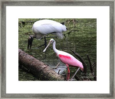 Roseate Spoonbill Framed Print by Theresa Willingham