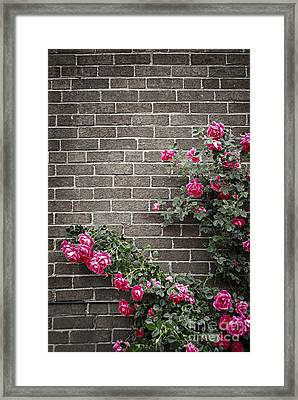 Roses On Brick Wall Framed Print by Elena Elisseeva