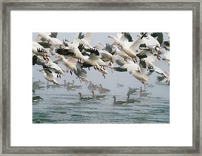 Ross's Goose Framed Print by Doug Herr
