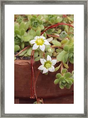 Rosularia Sedoides Var Alba Framed Print by Science Photo Library