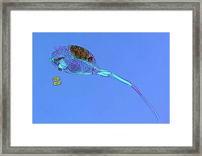 Rotifer And Desmid Framed Print