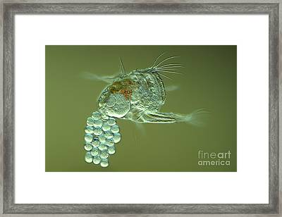 Rotifer With Eggs, Light Micrograph Framed Print