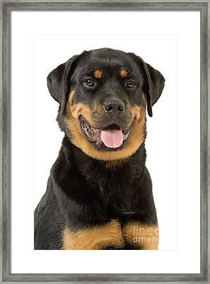 Rottweiler Dog Framed Print by Jean-Michel Labat