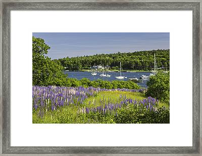 Round Pond Lupine Flowers On The Coast Of Maine Framed Print by Keith Webber Jr