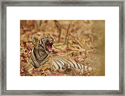 Royal Bengal Tiger Cub Yawning, Tadoba Framed Print by Jagdeep Rajput