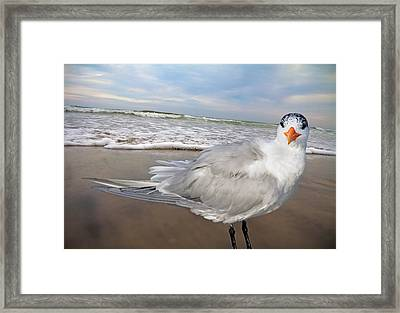 Royal Tern Framed Print by Betsy Knapp