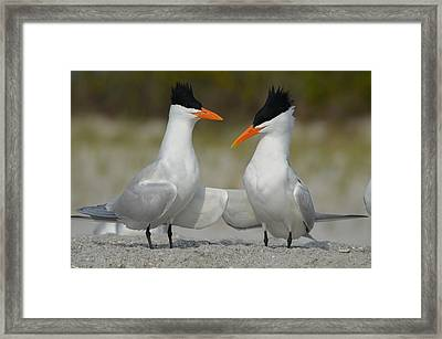 Royal Terns Framed Print by James Petersen