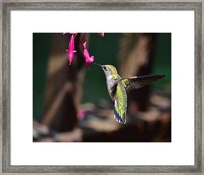 Ruby Throat Hummingbird Framed Print