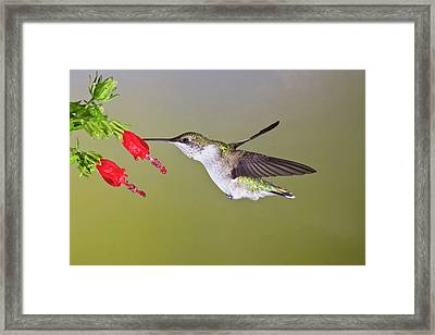 Ruby-throated Hummingbird (archilochus Framed Print by Larry Ditto