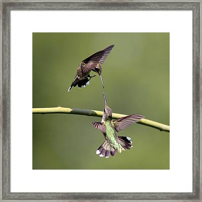 Ruby-throated Hummingbird Framed Print