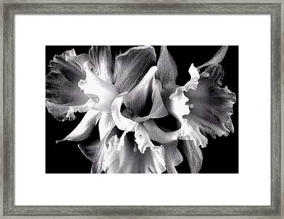 Framed Print featuring the photograph Ruffled Daffodils  by Marianne Dow