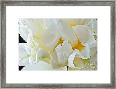 Framed Print featuring the photograph Ruffled White Tulip by Art Barker