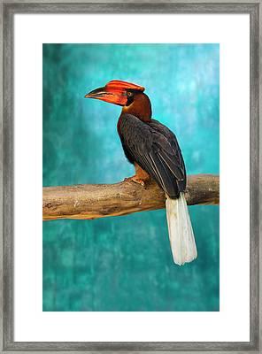 Rufous Hornbill (buceros Hydrocorax Framed Print by Keren Su