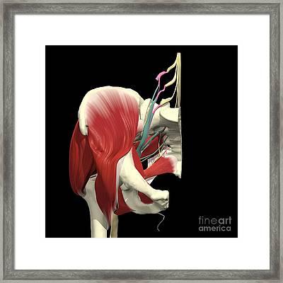Sacral Plexus With Pelvis Framed Print by Medical Images, Universal Images Group