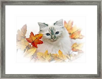 Sacred Cat Of Burma Framed Print by Melanie Viola