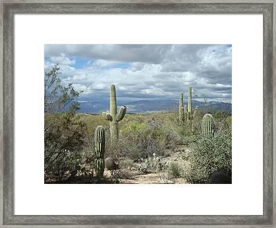 Saguaros Framed Print