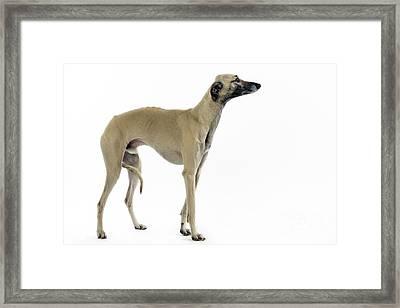 Saluki Dog Framed Print by Jean-Michel Labat