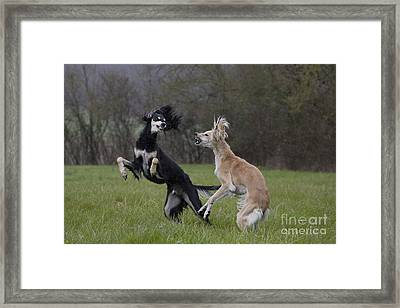 Salukis Fighting Framed Print