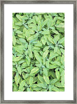 Salvia Officinalis 'icterina' Framed Print by Geoff Kidd