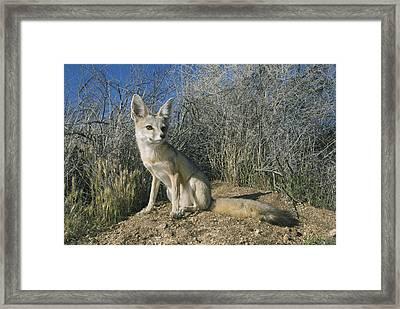 San Joaquin Kit Fox Carrizo Plain Framed Print by Kevin Schafer