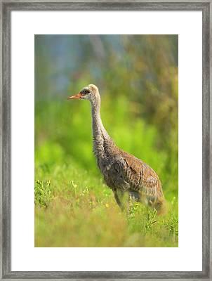 Sandhill Crane Chick Resting In Grass Framed Print