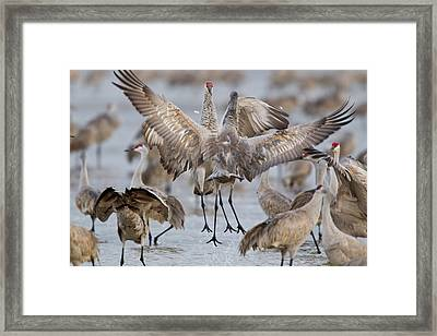 Sandhill Cranes Dancing On The Platte Framed Print by Chuck Haney