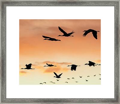 Sandhill Cranes Flying At Sunset Framed Print by Maresa Pryor