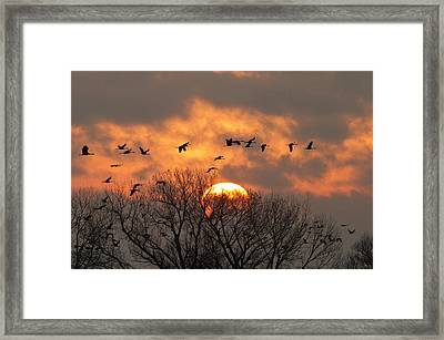 Sandhill Cranes (grus Canadensis Framed Print by William Sutton