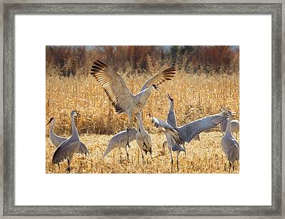 Sandhill Cranes In The Corn Fields Framed Print by Maresa Pryor