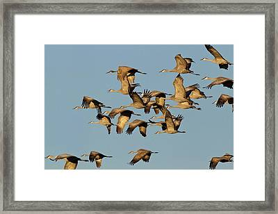 Sandhill Cranes Leave Corn Fields Framed Print by Chuck Haney