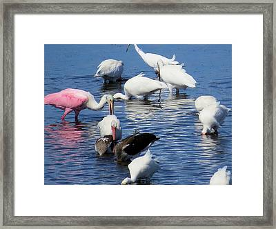 Sanibel Shorebirds Framed Print by Melinda Saminski