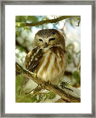 Sawhet Owl Framed Print