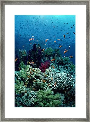 Scalefin Anthias Framed Print by Jeff Rotman