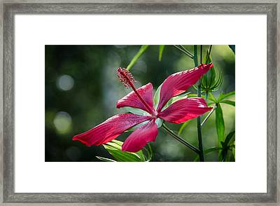 Scarlet Hibiscus Framed Print by Bill Martin