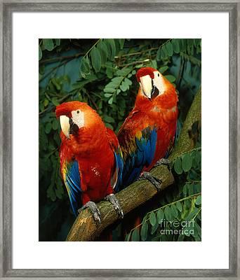 Scarlet Macaw Framed Print by Hans Reinhard
