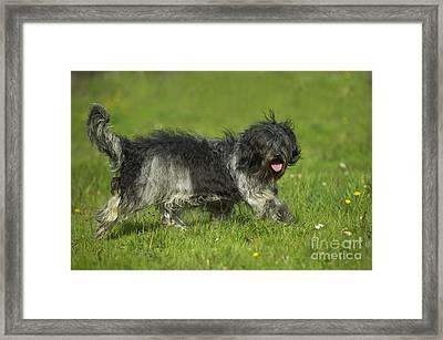 Schapendoes, Or Dutch Sheepdog Framed Print
